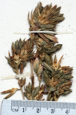 שברק הקרקפות Ononis phyllocephala Boiss.
