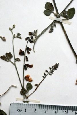 Rhynchosia minima (L.) DC.