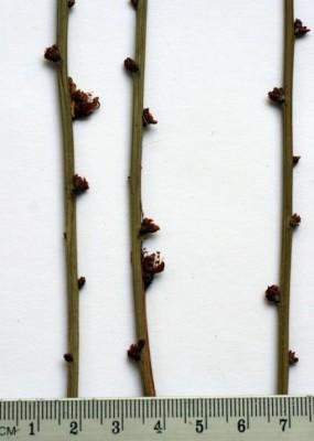 Amygdalus arabica Oliv.