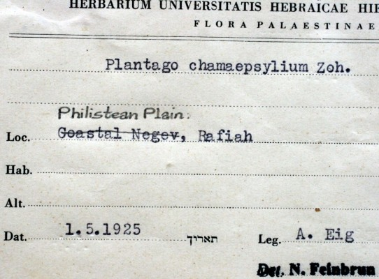 לחך הנגב Plantago chamaepsyllium Zohary