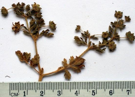 חמשן קטן Potentilla supina L.
