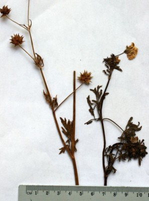 נורית הקרן Ranunculus cornutus DC.