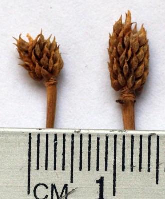 Ranunculus myosuroides Boiss. & Kotschy