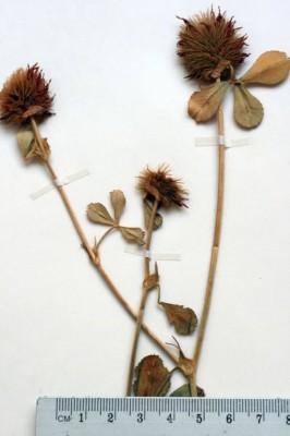 תלתן שעיר Trifolium hirtum All.
