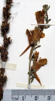 פשתנית דמשקאית Linaria damascena Boiss. & Gaill.