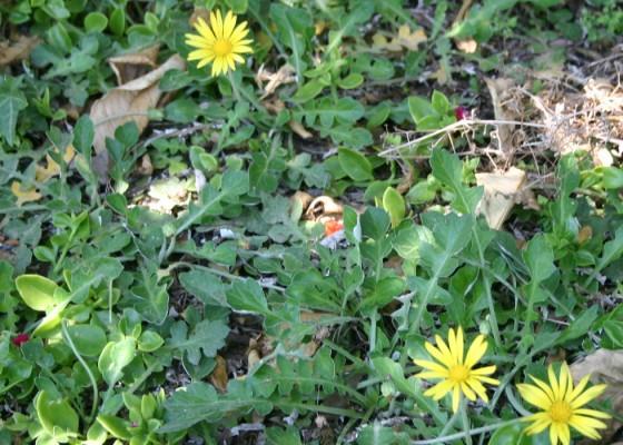 ארקטותקה משוננת Arctotheca calendula (L.)Levins