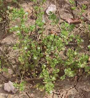 Arenaria leptoclados (Rchb.) Guss.