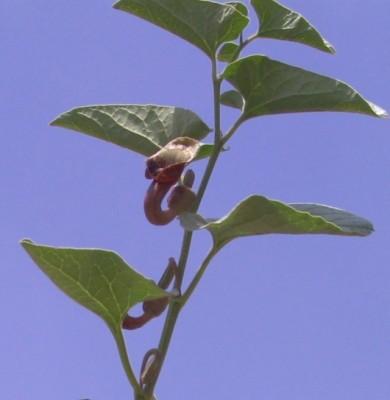 Aristolochia bottae Jaub. & Spach