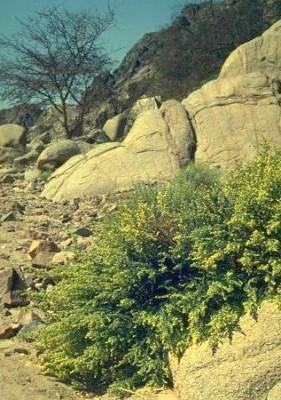 לענת יהודה Artemisia judaica L.