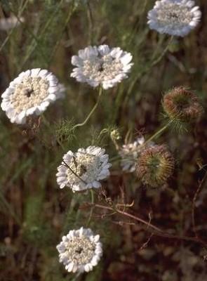שפרירה קשקשנית Artedia squamata L.