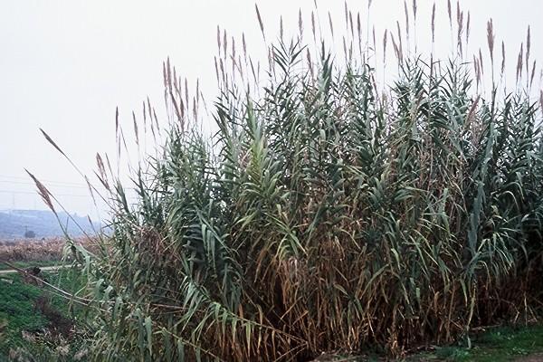 עבקנה שכיח Arundo donax L.