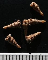 בראש הזרע טבעת בליטות על עוקצים ולאורך הפרי שתי טבעות של בליטות דביקות ללא עוקצים.