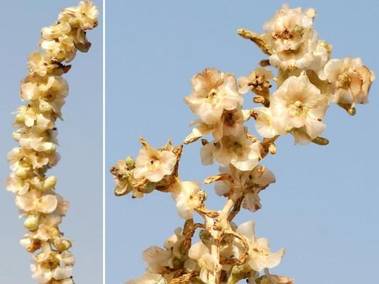 Seidlitzia rosmarinus Bunge ex Boiss.