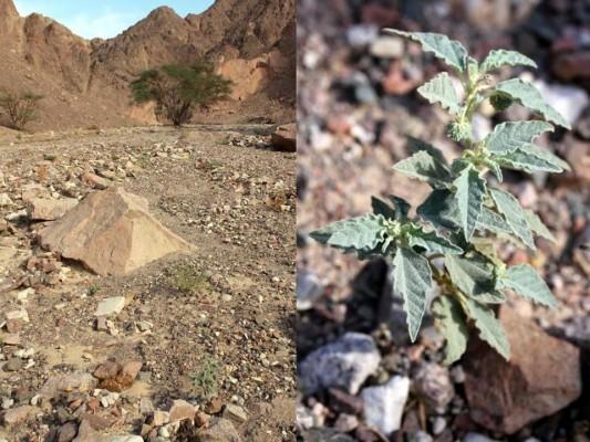 לשישית השיח Chrozophora oblongifolia (Delile) A.Juss. ex Spreng.