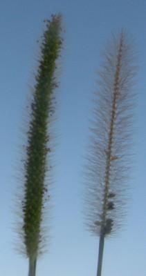 זיפן קטן פרחים Setaria parviflora (Poir.) Kerguelen