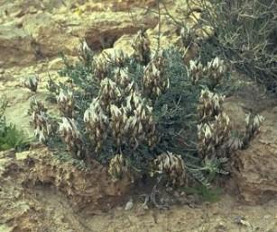 עשבים רב-שנתיים מסכיפים, נמוכים, גובהם עד 20 ס