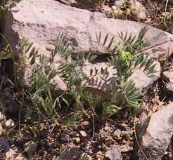 Astragalus epiglottis L.