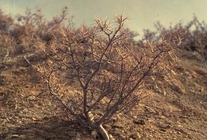 קדד הראשים Astragalus cephalotes Banks & Sol.