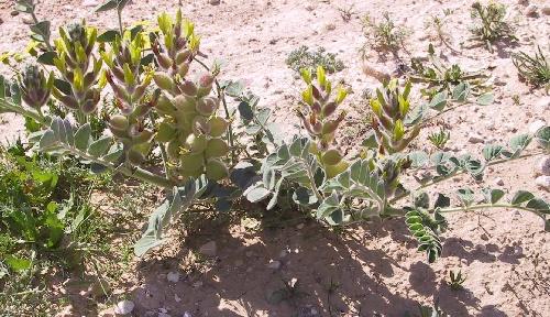 קדד קהירי Astragalus kahiricus DC.