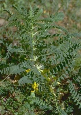 Astragalus macrocarpus DC.