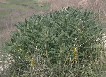 קדד גדול-פרי Astragalus macrocarpus DC.