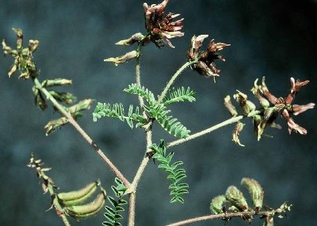 קדד ארץ-ישראלי Astragalus palaestinus Eig
