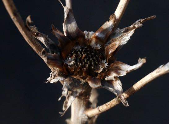 כוכב מצוי Asteriscus aquaticus (L.) Less.