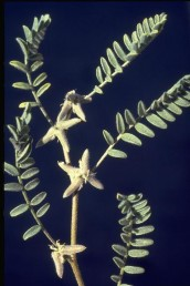 עוקצי קבוצות התרמילים קצרים מהתרמילים ועל פי רוב צמודים לגבעולים בחיק העלים.