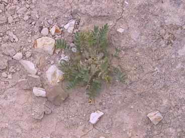Astragalus tribuloides Delile