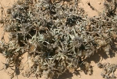 צמחי קרקעות חוליות במדבר או לאורך חוף-הים.