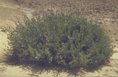 שיחים מעוצים בגובה 3-1 (-4) מ', הסעיפים יוצאים בזווית חדה ויוצרים שיח כדורי.