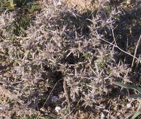חורשף קטן-קרקפות Atractylis serratuloides Cass.