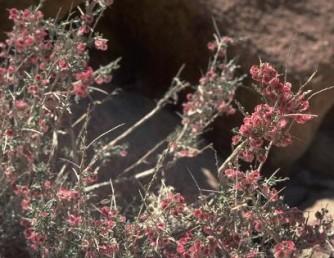 בן-שיח בערבות הר הנגב, בעל ענפים דוקרניים וכנפיים העוטפות את הפירות הקטנים.
