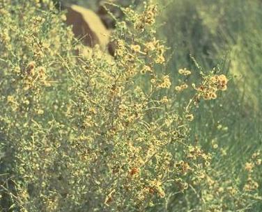 גפוף קוצני Atraphaxis spinosa L.