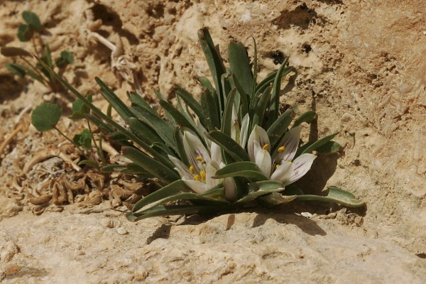 בצלצייה ארץ-ישראלית Androcymbium palaestinum Baker