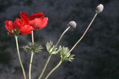 עשבים רב-שנתיים בעלי פקעת. הפרח בודד על ניצב, מלווה בבסיסו במעטפת של 3 עלים שסועים.