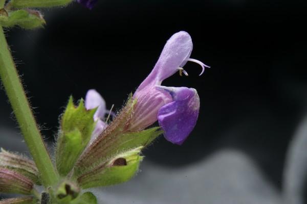 מרוות הפטל Salvia rubifolia Boiss.