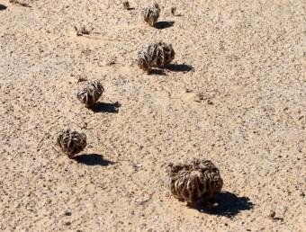 הגבעולים מתעצים בהבשלה ומתכופפים כאגרוף קמוץ שנשאר צמוד לקרקע במשך שנים רבות.