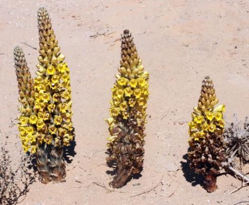 יחנוק המדבר Cistanche tubulosa (Schenk) Hook.f.
