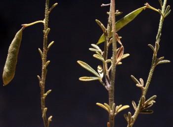 לפחות העלים התחתונים בעלי 3 עלעלים. צמחים דביקים מכוסים גרגירי חול לעתים קרובות.