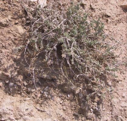 בסיה ערבית Bassia arabica (Boiss.) Maire & Weiller