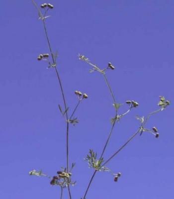 חריריים מצויים Bifora testiculata (L.) Spreng. ex Schult.