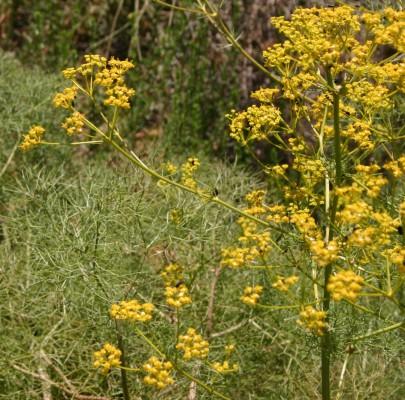 שומרר בואסיה Bilacunaria boissieri (Reut. & Huasskn.) Pimenov & Tichomirov