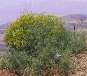 עשבים רב-שנתיים מקריחים או שעירים. העלים גזורים-מנוצים 4-3 פעמים לאונות נימיות.