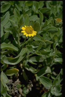 בוריכיה שיחנית Borrichia frutescens (L.) DC.