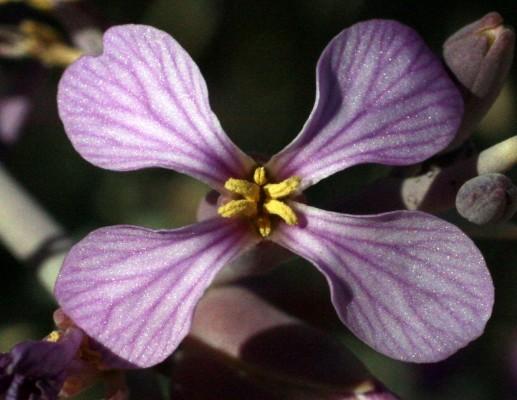Zilla spinosa (L.) Prantl