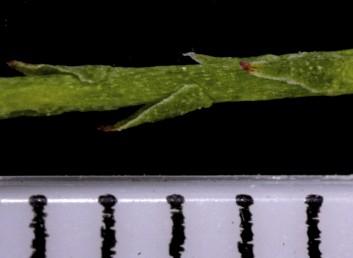 העלים דמויי אזמל בעלי בסיס צר, אינם חובקים את הגבעול.