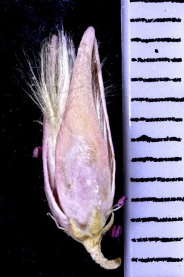 אשל מתנני Tamarix passerinoides Delile ex Desv.