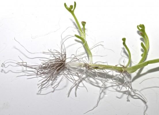 קרסולת השלולית Crassula vaillantii (Willd.) Roth