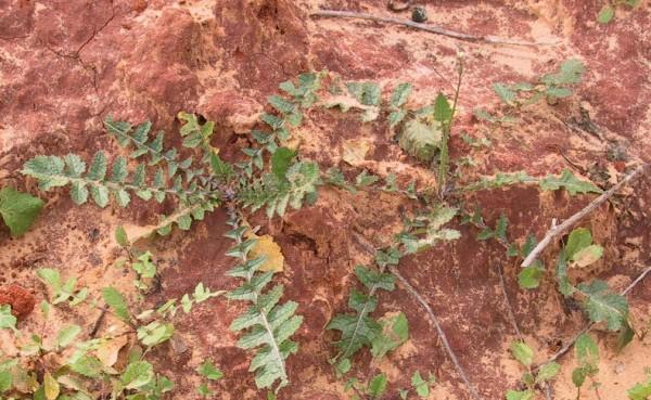 כרוב החוף Brassica tournefortii Gouan